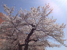 Ogawamachi_sakura