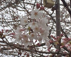 Cherry_blossom2