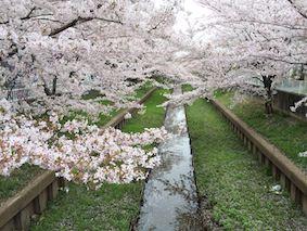 Sumiyoshi_sakura1