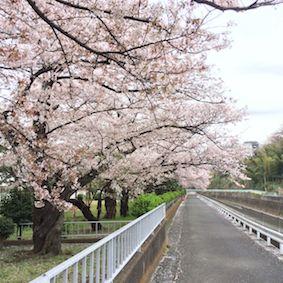 Yagami_sakura1_2