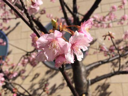 Kawazusakura