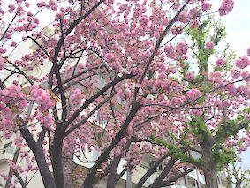 Pink_sakura