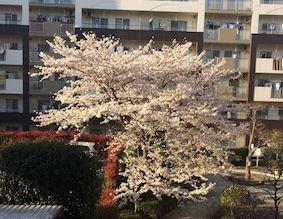 Sakura_325