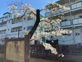 Kawazoino-sakura