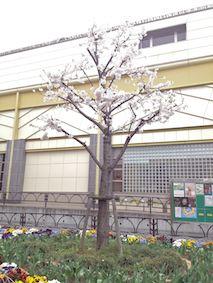 Sakuranoki