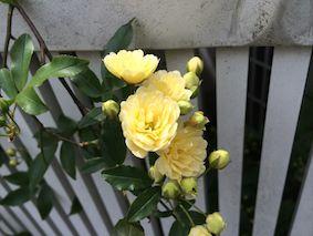 Rose3