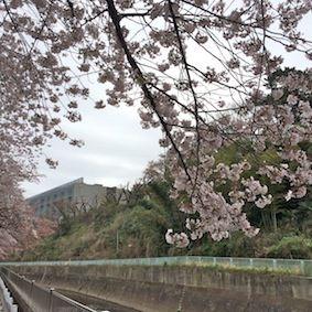 Yagami_sakura2_2