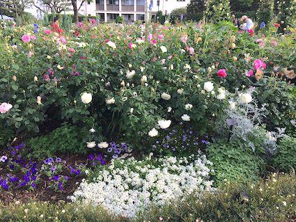 English_rose_garden1