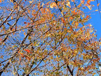 Autumn-cherrytree