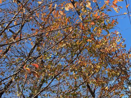 Autumn-cherrytree_20201216110901