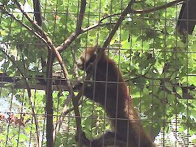 Lesser-panda