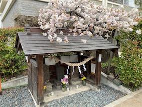 Shirine-cherry-blossom